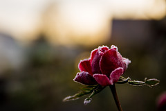 Morning dew (mbap266) Tags: morning rose dew sonnenaufgang morgentau morgenreif canoneos6d tamronsp2470mmf28divcusd