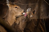 DebateLicked (jmishefske) Tags: park nature tongue wisconsin franklin nikon december wildlife center doe deer grooming milwaukee baiting whitetail wehr cwd 2015 dnr whitnall halescorners d800e act240
