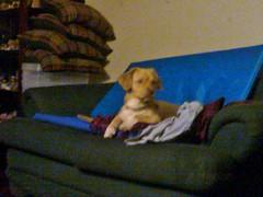 Roni (Santiago Stucchi Portocarrero) Tags: lima perú santiagostucchiportocarrero hund perro can cane chien dog hound