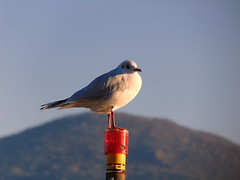 distortion, decompression, pacification (samuele.dangelo) Tags: winter light sky lake bird nature animals december sunny ponte tresa ceresio