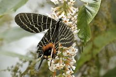 Bhutanitis lidderdalii (Hiro Takenouchi) Tags: bhutanitis papilionidae parnassiinae swallowtail butterflies butterfly arunachal eaglenest india schmetterling papillon insect nature