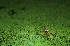 Se mettre au vert / To get out into the green (pascal.echevest) Tags: grenouille verte rana esculenta