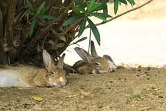 image (Rubia.A) Tags: rabbit rabbitisland okunoisland japan hiroshima うさぎ 兎 大久野島 広島