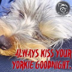 We will all sleep better for it. (itsayorkielife) Tags: yorkiememe yorkie yorkshireterrier quote