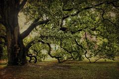 RENNES: LE JARDIN DU THABOR (pierre.arnoldi) Tags: france bretagne rennes parcduthabor nature arbres photooriginale textures phototumblr