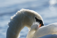 Shy-Swan (Aardwolf6886) Tags: mute muteswan sony swan tamron150600mm tamron devon ilca77m2