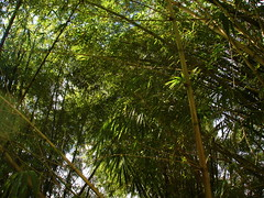 Bambusa vulgaris (Lauren Gutierrez) Tags: bambusavulgaris bambusa vulgaris bamboo grass poaceae guam ravine introduced invasive