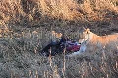 10077925 (wolfgangkaehler) Tags: 2016africa african eastafrica eastafrican kenya kenyan masaimara masaimarakenya masaimaranationalreserve wildlife mammal bigcat predator predatory bigfive lionpantheraleo lioness femaleanimal lionesses feedinganimal kill