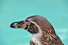 Humboldt Penguin 6