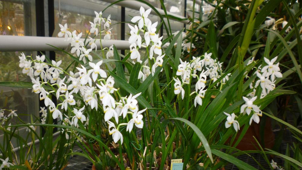 Osmoglossum pulchellum Brises de Muguet -Sénat