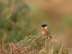 Stonechat-8811 (Kulama) Tags: stonechat birds nature wildlife bracken fern grass autumn autumncolours canon7d sigma150600c563