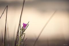 autumn flower (Frednik) Tags: pflanze nikon 70200mmf28 gras