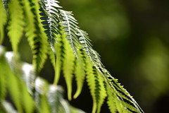 fern (sabinakurt62) Tags: flower green nautre fern nikon sydney australia beautiful spring plant flora bokeh outdoor depthoffield light sun leaf art photography