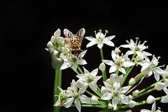 Flower + (Hugo von Schreck) Tags: hugovonschreck flower blume blte hoverfly macro makro insect insekt schwebfliege canoneos5dsr tamron28300mmf3563divcpzda010 buzznbugz onlythebestofnature