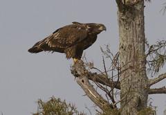immature Bald Eagle (AllHarts) Tags: immaturebaldeagle mallardlake biglakewma manilaar naturescarousel ngc