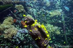 gele zeilvindoktersvis - Zebrasoma flavescens - Yellow tang (MrTDiddy) Tags: gele zeilvindoktersvis zebrasoma flavescens yellow tang zeilvin dokter doktersvis dokters vis fish zooantwerpen zoo antwerp antwerpen