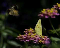 Butterfly_SAF2804-1 (sara97) Tags: butterfly flyinginsect insect missouri nature outdoors photobysaraannefinke pollinator saintlouis copyright2016saraannefinke