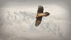 Flight on ice (Gornergrat, Switzerland) (armxesde) Tags: pentax ricoh k3 schweiz switzerland mountains berge alpen alps gornergrat bartgeier vulture vogel bird flug flight snow schnee eis ice