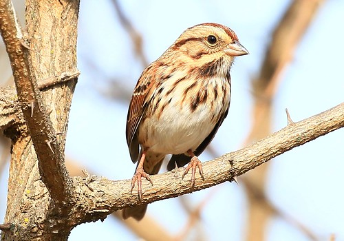 song sparrow at Decorah Prairie IA 854A6851