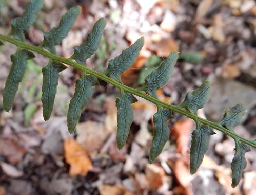 Christmas Fern (Polystichum acrosticholides)
