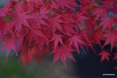 1-DSC_0536  1st November 2015 , from my files (profmarilena) Tags: japanesemaple acerogiapponese autumn