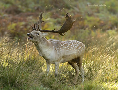 Dunham Massey 18 194 (Brian Gort Wildlife Photography) Tags: red fallow deer dunhammassey nationaltrust cheshire autumn catchlight ccd colour colours colourful cream brown white light morning sun sunlight