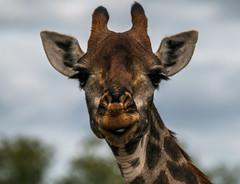 Portrait of Mss. Giraffe (Haraldur Ketill) Tags: southernafrica southernafricawildlife southafrikanwildlife southafrica kruger krugernationalpark krugersafari safari giraffe animalportrait africa wildlife wildanimal wildlifeshoting mammals