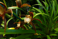 Cymbidium tracyanum 'Citron Sunray' species orchid 11-16 (nolehace) Tags: fall nolehace sanfrancisco fz1000 1116 flower bloom plant cymbidium tracyanum citron sunray species orchid