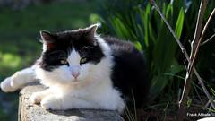 Ju (Frank Abbate) Tags: gatto cat bianco nero black white canon eos 80d 50mm