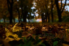 Fallen leaves (Bence Boros) Tags: sony alpha a58 1855mm macro ground trees dof leaves autumn colors yellow brown bokeh central hungary miskolc