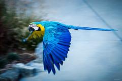 Ara (Stphane Slo) Tags: france pentax pentaxk3ii printemps rhne rhnealpes animal ara nature oiseaux parcdesoiseaux perroquet proxi villarslesdombes