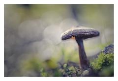 Wonderland (s1nano) Tags: mushroom mushroominnature champignon forest foret macro fungi fungo fungus autumn nature moss bokeh dof woods wonderland micronikkorafs40mm128g nikond7000