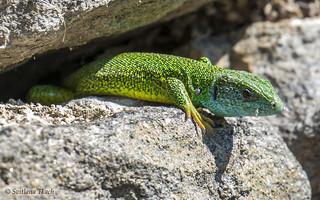 Lacerta viridis / European green lizard / Зелёная ящерица / Smaragdfirben