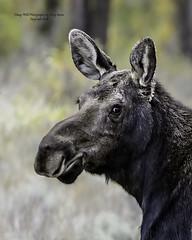 """The Look"" Moose Cow, Jackson Hole Wyoming (Hawg Wild Photography) Tags: moose wildlife nature animal animals jacksonholewyoming grand teton tetons national park terrygreen nikon d4s 200400mm vr"