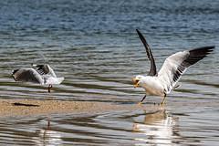 Gull Power! (gecko47) Tags: bird birds gulls silvergull pacificgull larusnovaehollandiae laruspacificus beach shallows aggression display territorial wilsonspromontory victoria boo
