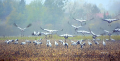 grues (AND HL) Tags: migration grues oiseaux nikon
