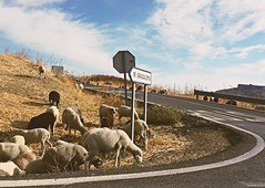 andalucia: grazalema 16 (gregjack!) Tags: spain andalucia grazalema countryside landscape sheep corner curve signpost colour bend road roadsign 16 animals whitetown pueblosblancos
