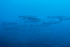 Blackfin Barracudas (maractwin) Tags: sphyraenaqenie blackfinbarracuda fiji gau nigalipassage scuba easterndivision fj