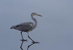 Walking-on-the-ice---Grey-Heron-0725 (Kulama) Tags: greyheron heron birds nature wildlife water walk ice winter canon7d sigma150600c563