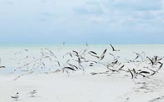_X4A3695 (lvaro argelles) Tags: holbox mexico sandbank caribbean birds seagulls