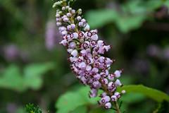 Heather (Frank Talamini) Tags: flower spain picosdeeuropa heather erica