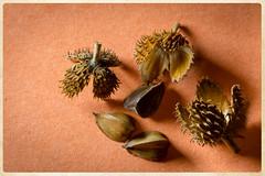 Beech seed pods (StGrundy) Tags: nature seeds seedpod tree trees beech season seasonal autumn autumnal macro closeup detail south southern roswell georgia bullochhall