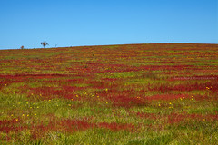 Fields Of Red || LAKE BATHURST || NSW (rhyspope) Tags: australia aussie nsw new south wales lake bathurst red flower field rural farm meadow spring rhys pope rhyspope canon 5d mkii goulburn canberra