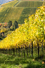 Autumn Colors in the Vineyards (MarkusR.) Tags: mrieder markusrieder nikon nikond7200 d7200 stuttgart germany deutschland rotenberg untertrkheim weinberg vineyard fall autumn herbst colors farben herbstfarben autumncolors outdoor landschaft natur nature landscape wrttemberghill