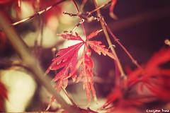 Autumn (gusdiaz) Tags: autumn leaf leaves fall nature beautiful red bokeh canon 60mm hermoso hojas otoo maravilloso