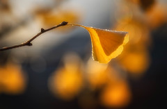 Gingko Sunrise (MontanaRoots (aka Craig)) Tags: sunrise gingko maidenhair tree gold leaf biloba