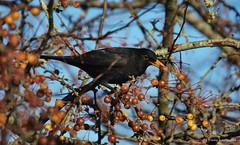 blackbird (Frans Harteveld) Tags: merel blackbird backyardbirds berries bird turdusmerula zangvogel bessen