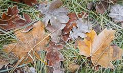 Frozen autumn mix, Norway (KronaPhoto) Tags: 2016 hst samsung vestfold norway leaf leaves blad hstblad tre tree autumn forest skog natur nature