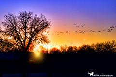 Morning Graditude ... (Aspenbreeze) Tags: sandhillcranes cranes birds wildbirds coloradowildlife flyby migration birdmigration sunrise dawn sunup sky flight wings bevzuerlein moonandbackphotography aspenbreeze