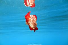 IMG_0190 copy (Aaron Lynton) Tags: spanish dancer snorkel scooter maui hawii hawaii canon g1x spanishdancer turtle honu tako octopus ocean animals papio yellowspotpapio starfish